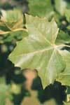 Leaf of London Planetree