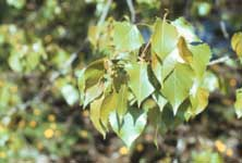 The leaves of an eastern cottonwood