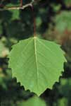 The leaf of a Bigtooth aspen