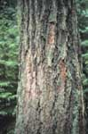 Bark of a Douglas fir