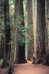 Man standing underneath a Douglas fir