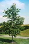 Young white oak