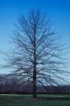 Pin oak in winter