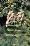 The leaf and flower of a black locust