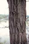 The deeply furrowed bark of a black locust