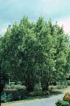 A 'Tortuosa'  Hankow Willow