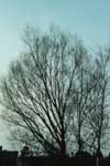 A Hankow Willow in the winter