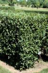 A Laurel Willow Hedge