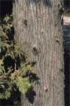 Northern White Cedar - Bark