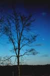 The winter form of a slippery elm