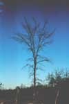 The winter form of a rock elm