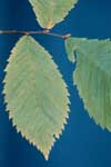 Leaf of rock elm